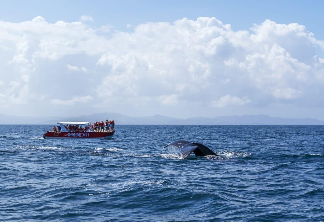 samaná - humpback whales - cabarete to samaná - the yoga loft