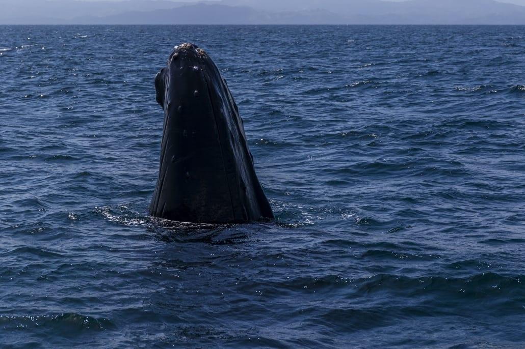 samaná - humpback whales - the yoga loft cabarete